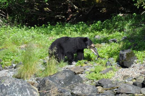 2014-07-09_usa_alaska_pws_snug-harbour_black-bear-caught-salmon.jpg