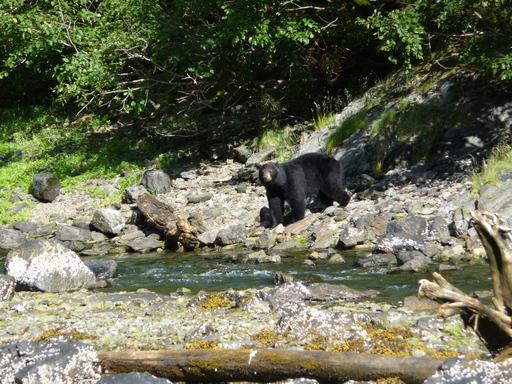 2014-07-09_usa_alaska_pws_snug-harbour_black-bear-looking.JPG
