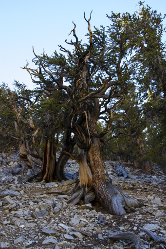 2014-11-10_usa-california_bristlecone-trees.jpg