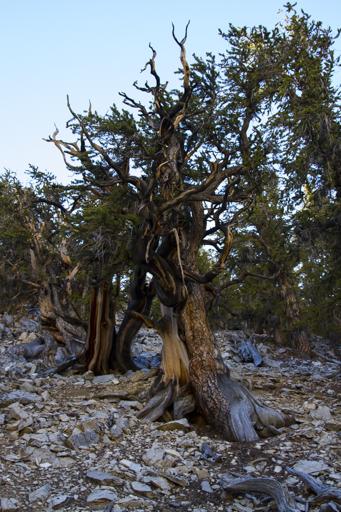 2014-11-10_usa-california_bristlecone-trees.jpg